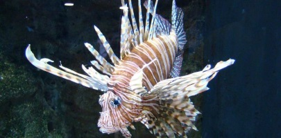 Lionfish Awareness