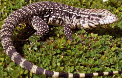 Nonnative Reptiles in South Florida