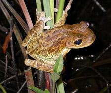 Green tree frog, Hyla cinerea, Everglades National Park, S… | Flickr
