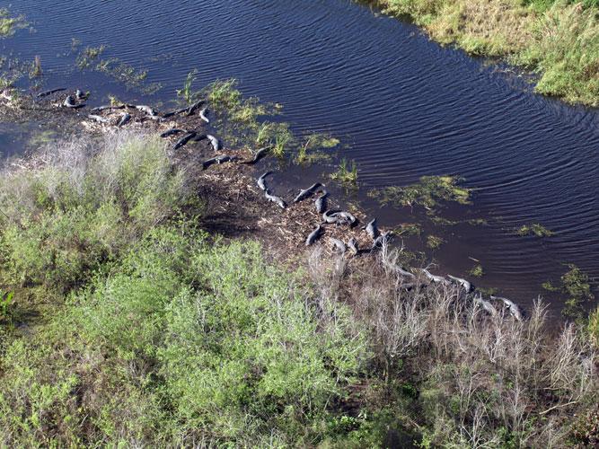Monitoring American Alligators And American Crocodiles As Indicators