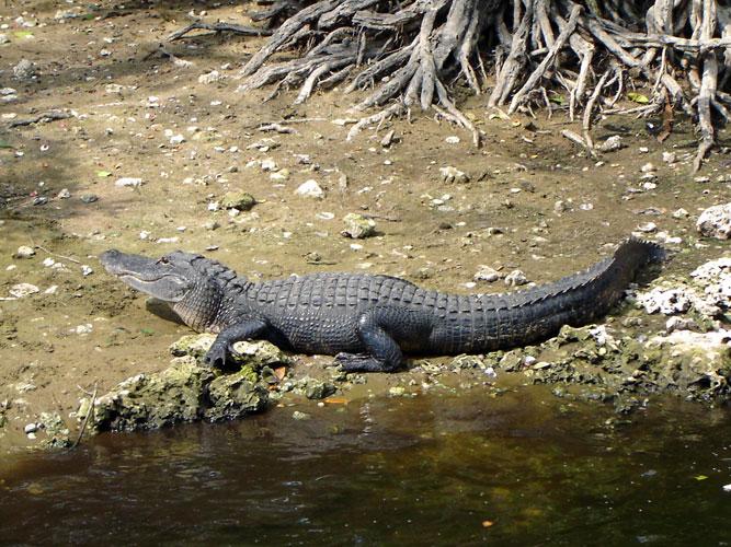 Crocodile Crocodile Crocodile Alligator Alligator Alligator