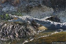 Male and female crocodile at Turkey Point