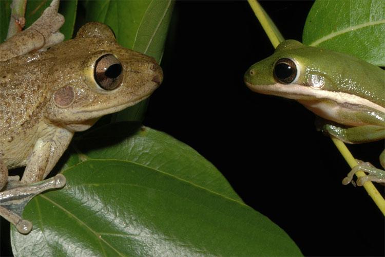 Pine Barrens tree frog | Florida Everglades tours