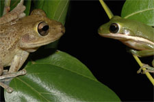 Cuban and Green tree frogs