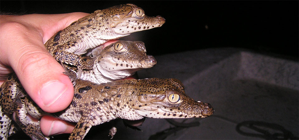 Crocodile hatchlings